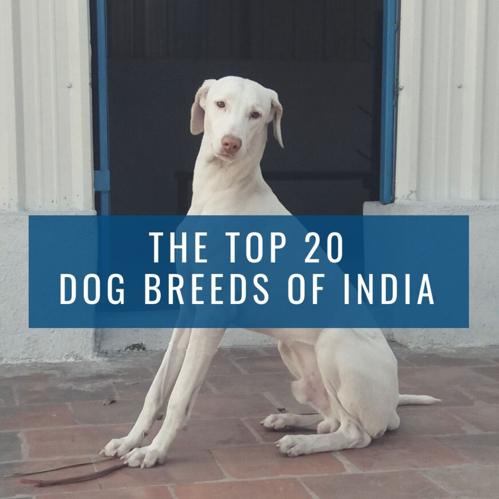 Top 20 Indian Dog Breeds Purchasing Price And Care Dog Breeds