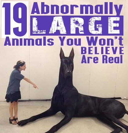 Oh My Is It Really This Big These Exceptionally Large Animals