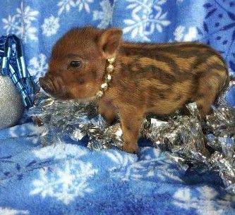 teacup pigs for sale--ULTRA NANO FEMALE--chipmunk color ...