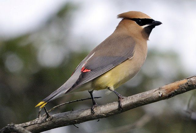 """Cedar Waxwings are beautiful birds with a distinct pattern of brown, gray and yellow feathers. They are known as """"waxwings"""" because of the waxy secretions that color the tips of their secondary feathers red."""