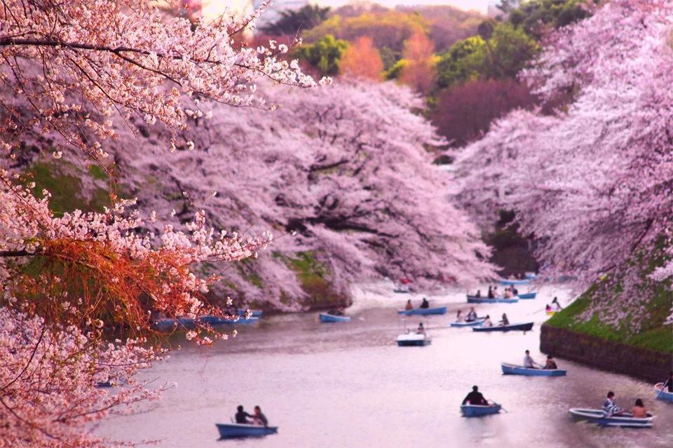 Cherry Blossoms River Japan Pics Cherry Blossom Cherry Blossom Japan Tokyo Cherry