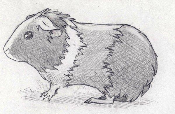 Kreslená Morčata Zeichnen Bleistift Einfach