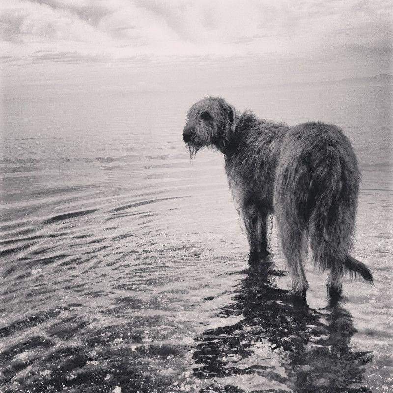 Pin By Eohaid Daghdah On Puppy Love Irish Wolfhound Wolfhound Deerhound