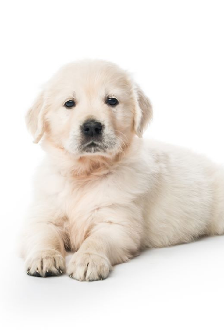 Barefoot Blonde By Amber Fillerup Clark Page 5 Of 54 Cute Dogs Puppies Golden Retriever