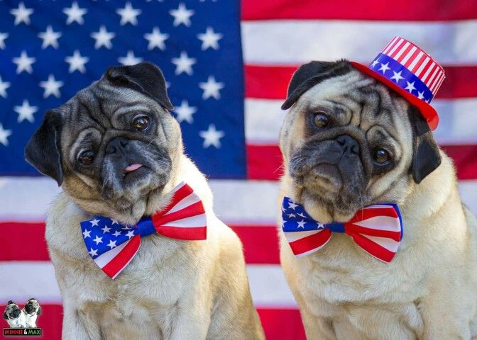 American Pugs On The 4th Of July Pugs Red And White French