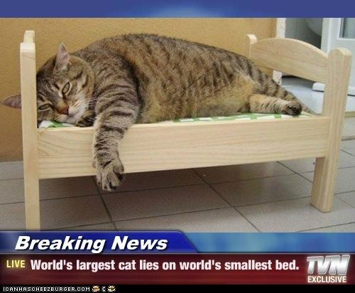 Breaking News - World's largest cat lies on world's ...