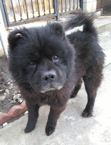 Chow Chow Dog For Adoption In Seattle Wa Adn 515624 On