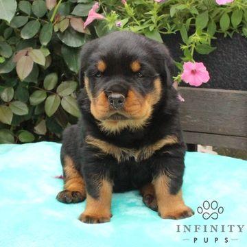 Rottweiler Puppy For Sale In Gap Pa Adn 34466 On Puppyfinder Com