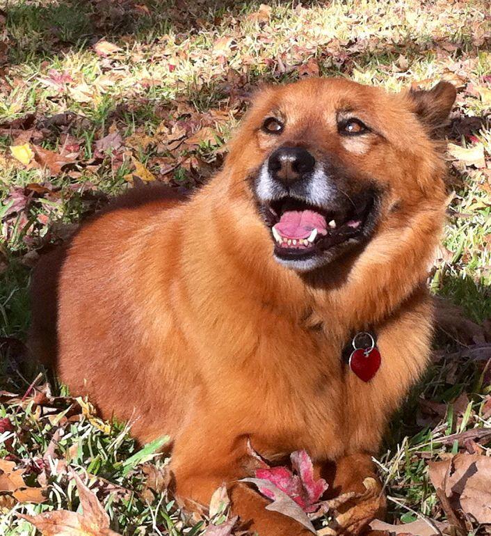 German Shepherd Chow Mix The Best Mix Dog Love Best Dogs