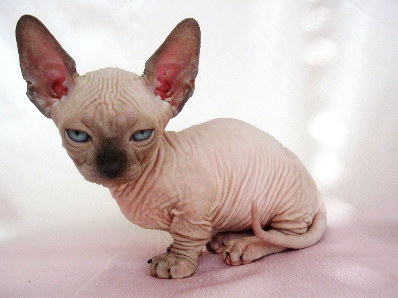 This baby hairless cat. The cutest [...] ever