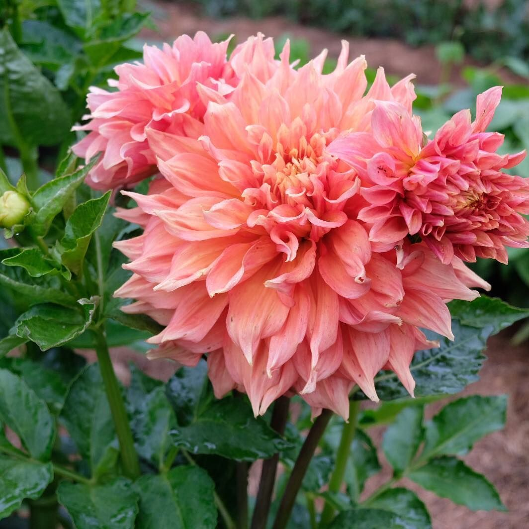 Swooning Over These Dinner Plate Dahlias They Re Named Hart S Dr Mcmurray I Ll Post A Video In My Story To Show Why They Re Dahlia Flower Beauty Flowers