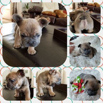 Litter Of 4 French Bulldog Puppies For Sale In Spokane Wa Adn