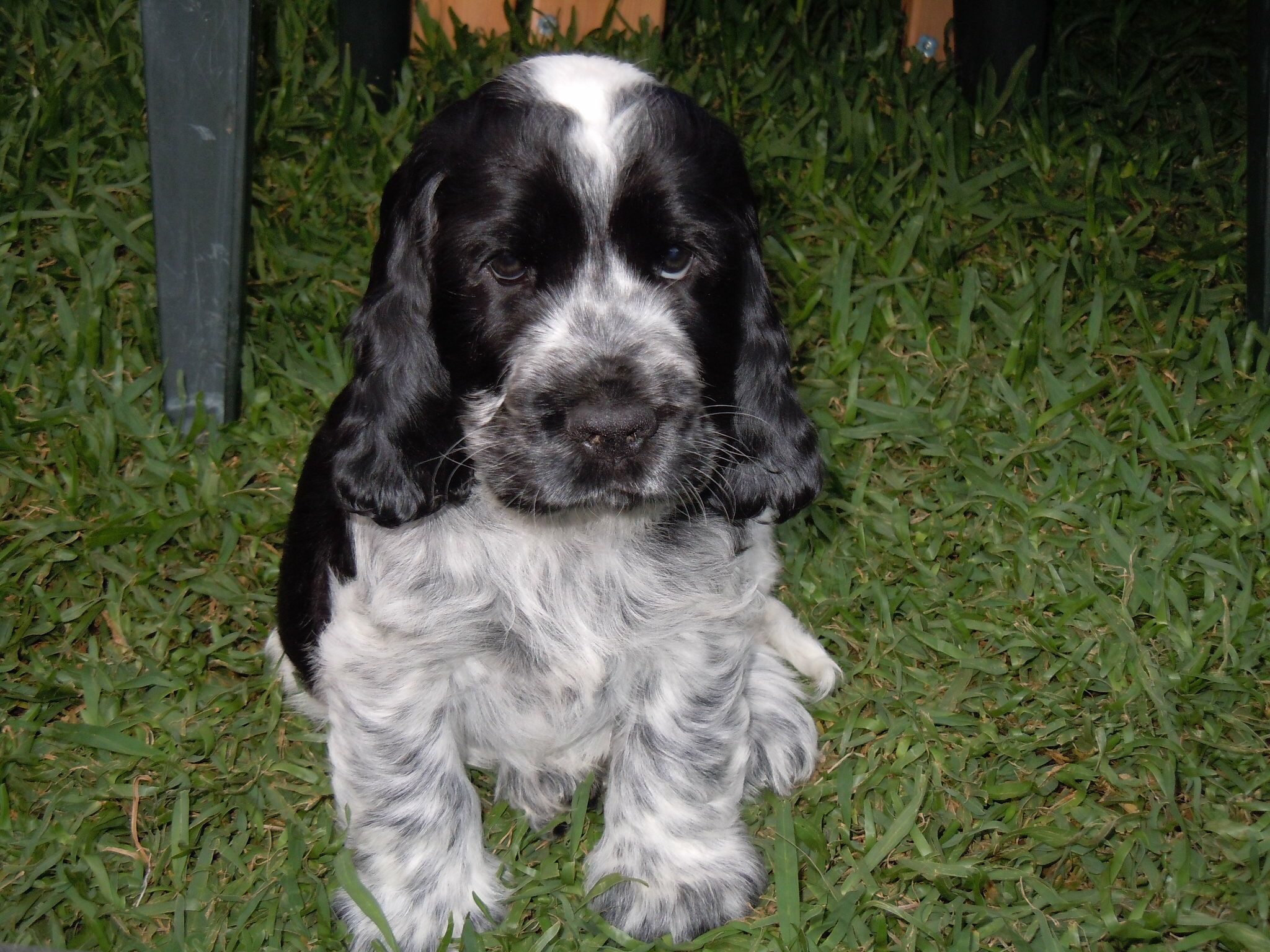 Blue Roan Cocker Spaniel Puppy Spaniel