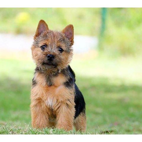 The Norwich Terrier Is A Small Terrier Standing No More Than 10