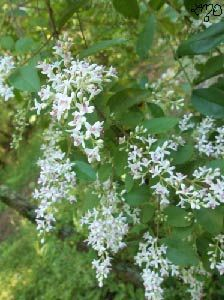 Chinese Privet Smells Like Honeysuckles And Lilacs Combined Plants Wild Flowers The Great Outdoors