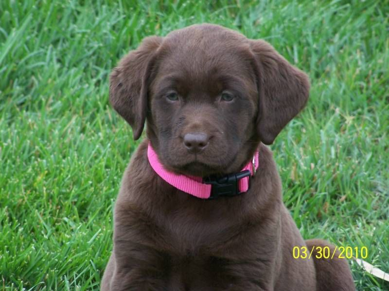 English Labrador Retriever English Labrador Retrievers Akc
