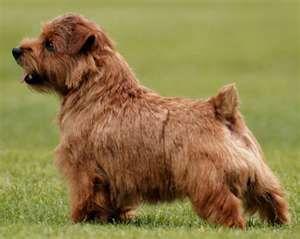 Norfolk Terrier Norfolk Terrier Puppies Norfolk Terrier