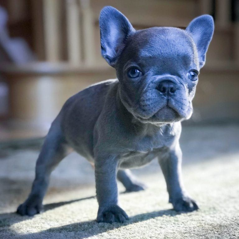The Most Popular Coloration of the French Bulldogs