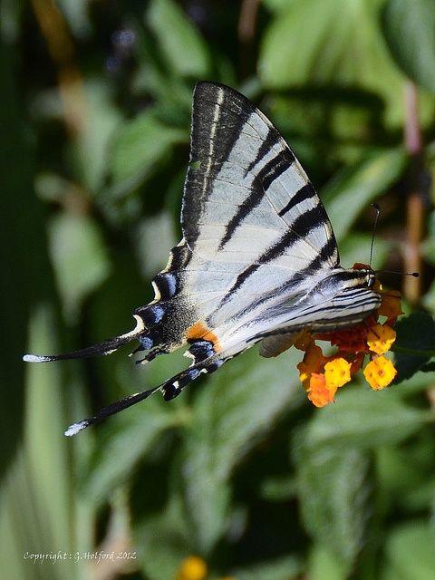 Skiathos Butterfly