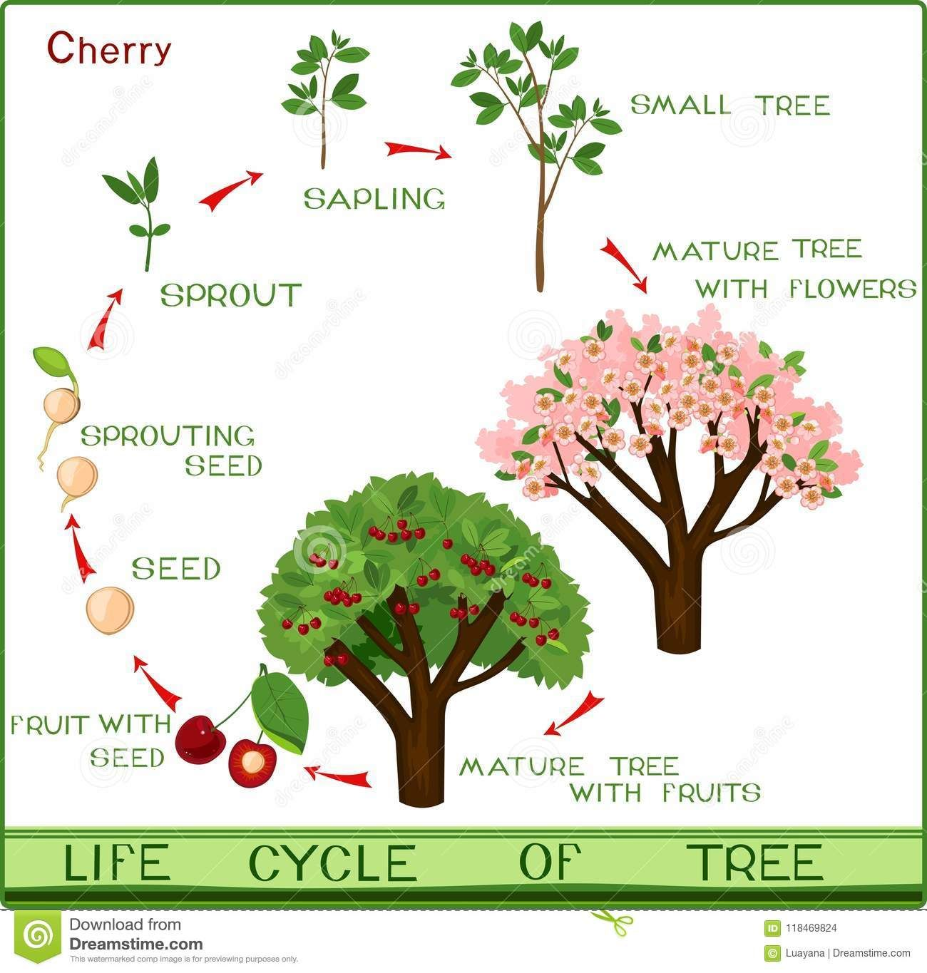 Illustration About Life Cycle Of Cherry Tree With Captions Plant Growing From Seed To Cherry Tree Illustration Of Life In 2021 Cherry Tree Life Cycles Growing Seeds