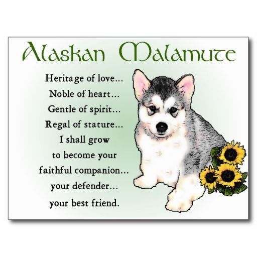 Low Price Guarantee Alaskan Malamute Gifts Postcards Alaskan