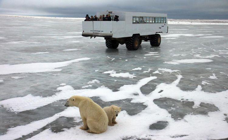 Dónde mejor ver osos polares en Canadá