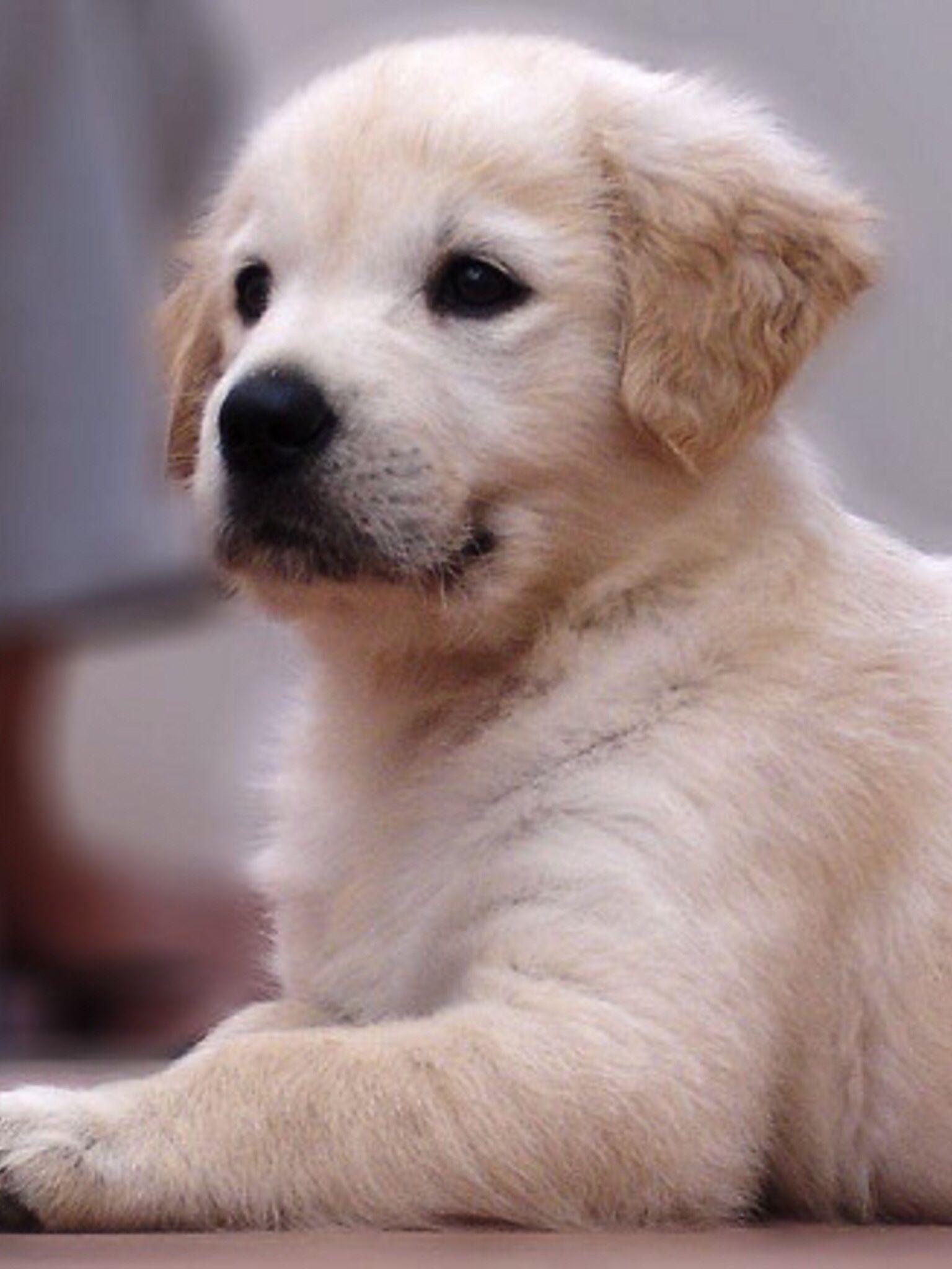 Shiloh shepherd puppies for sale ontario