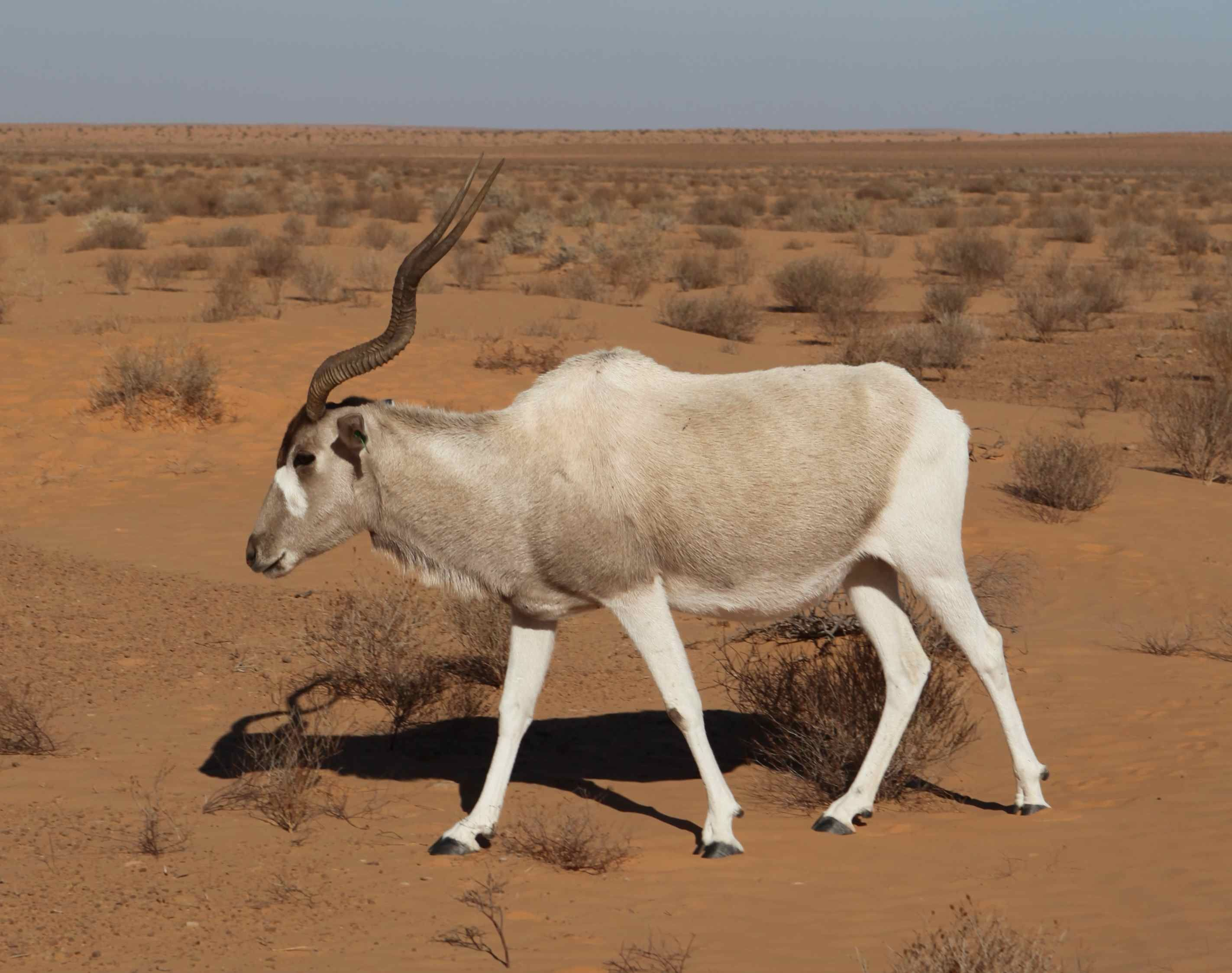 Image result for addax