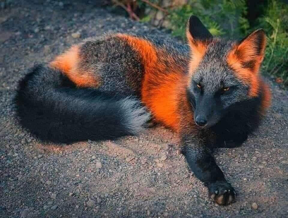 Melanistic Fox Rare Animals Melanistic Animals Animals Beautiful