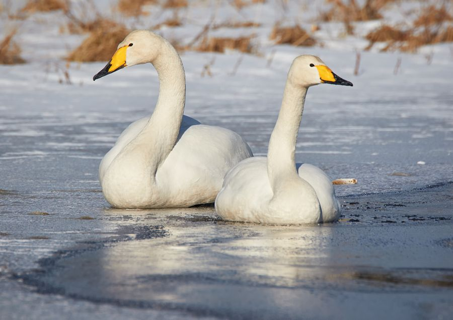 Two swans on the frozen lake