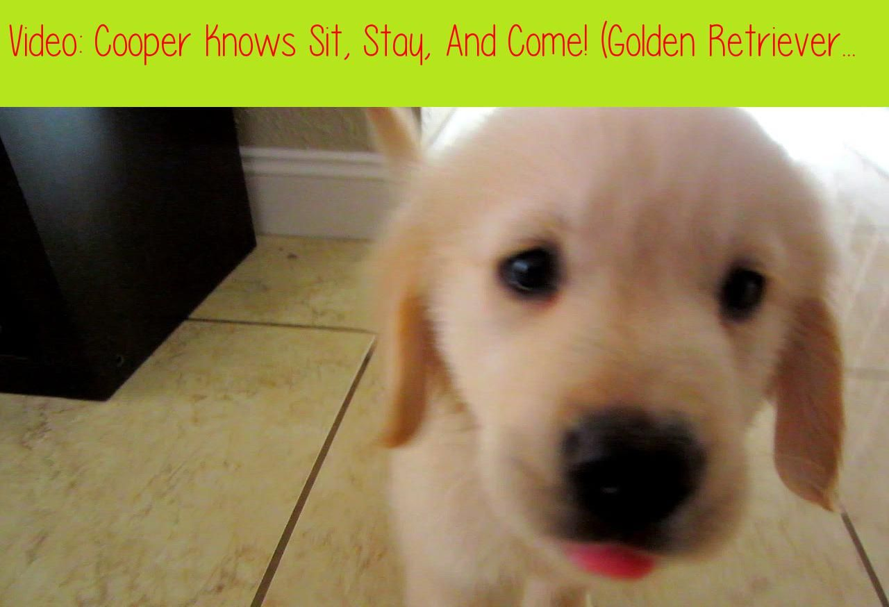 Cooper Knows Sit Stay And Come Golden Retriever Puppy Training