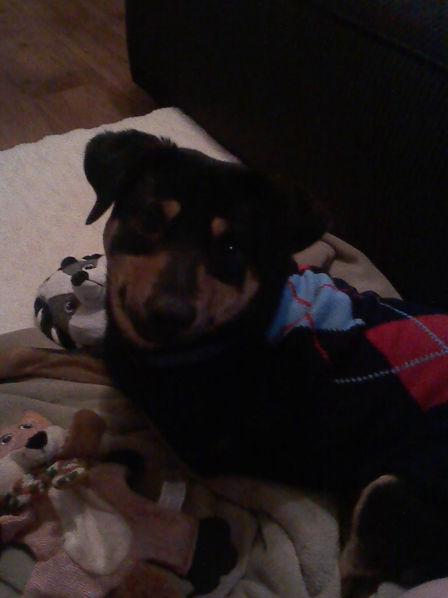 Who can resist a three legged dog in an argyle sweater