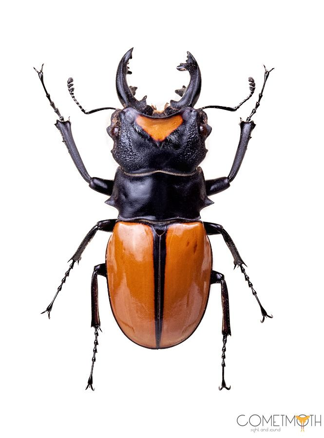 A Gorgeous Example Of A Male Lucanid Or Stag Beetle From
