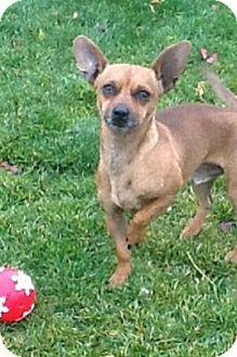 Incline Village Nv Chihuahua Dachshund Mix Meet Rusty A Dog For Adoption Dachshund Mix Hound Breeds Pet Adoption