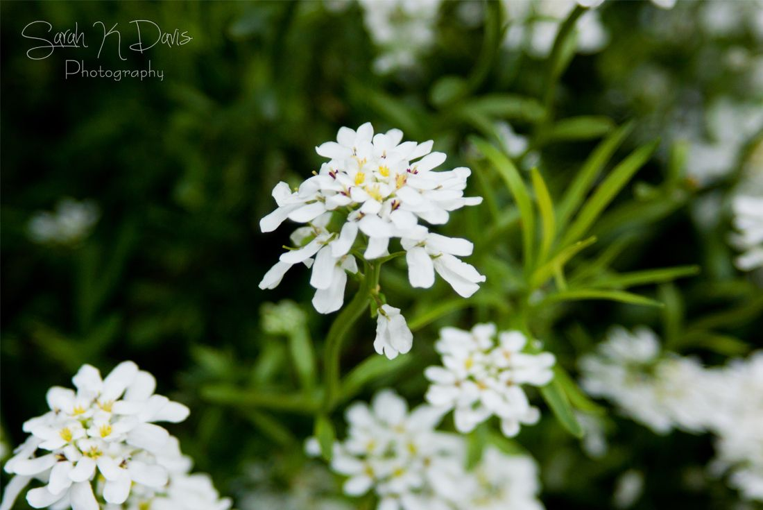 White Creeping Phlox  Summer 2016 Sarah K Davis Photography