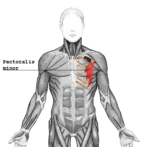 The Pectoralis Minor Is The Muscle Of The Month At Yoganatomy