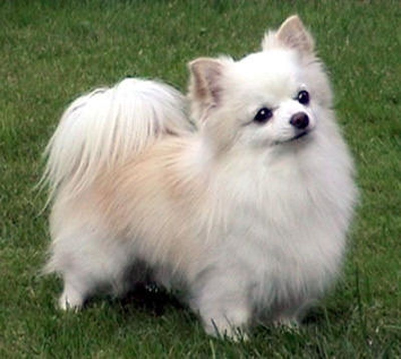 not as cute as my Beebs but pretty dang close! *long haired chihuahua love*