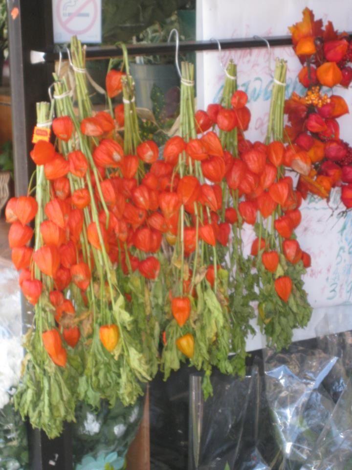 chinese lantern flowers hang to dry | Chinese lanterns ...