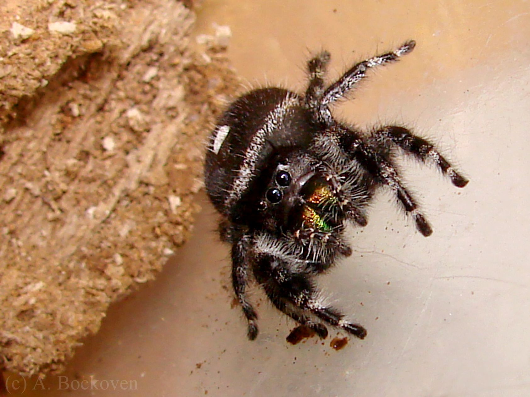 jumping spider spiders pinterest