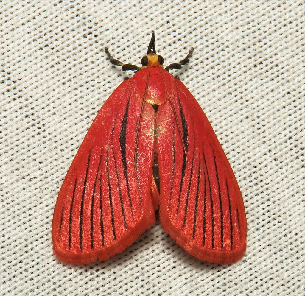 Pyralid Moth (Arctioblepsis Rubida, Pyralinae) (With