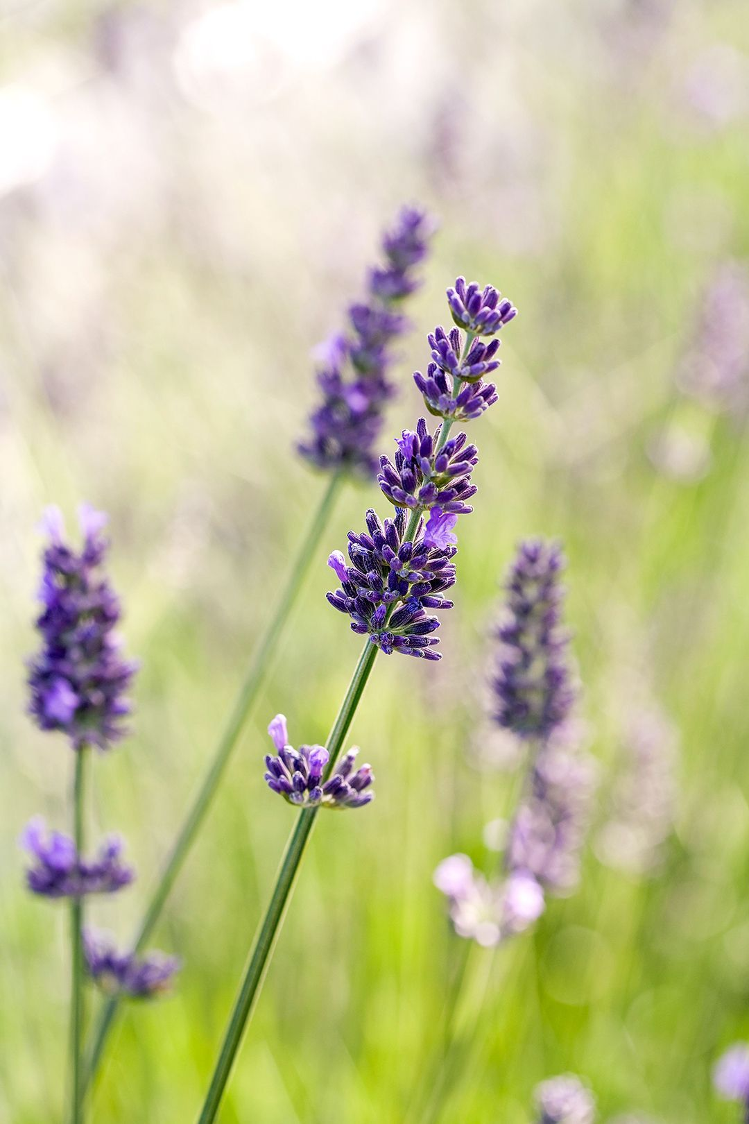 23 Top Lavender Varieties For Filling Your Garden With Color And Fragrance In 2020 Types Of Lavender Plants Lavender Varieties Lavender Plant