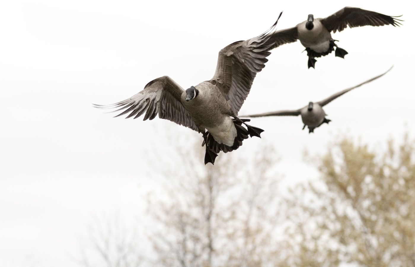 Goose Hunting Waterfowl Fishing Guides Photos Snow
