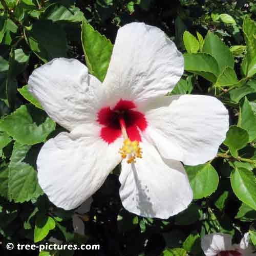 Hibiscus Pictures Large White Hibiscus Flower With Red Center