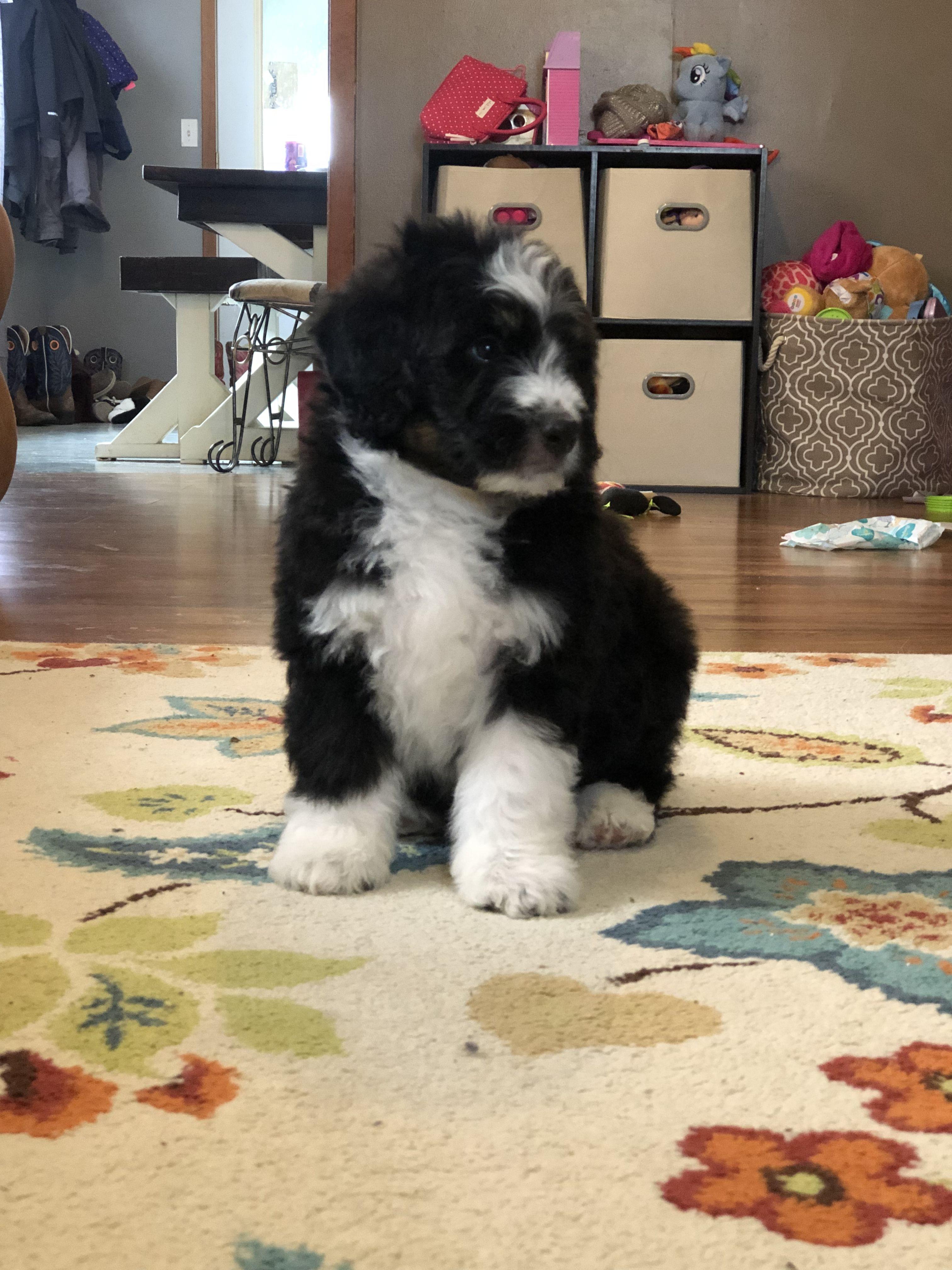 Standard Black Tri Bernedoodle Bernadoodle Puppy