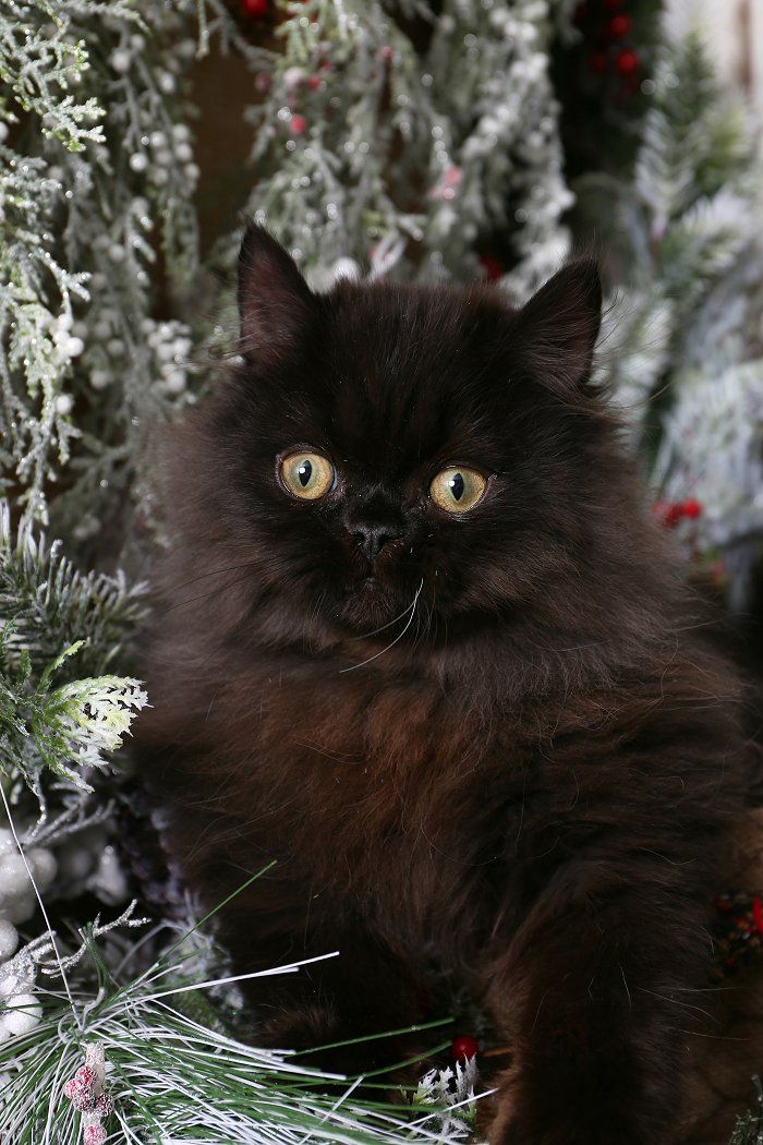 Black Persian Kittens Persian Kittens Persian Cat Doll Face