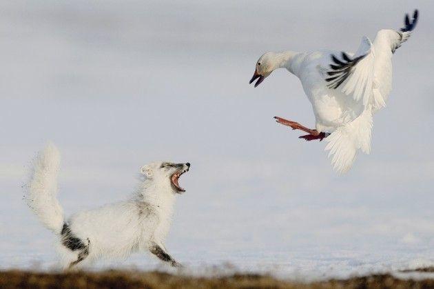 Prachtige foto's van de 'Wildlife Photographers of the Year'