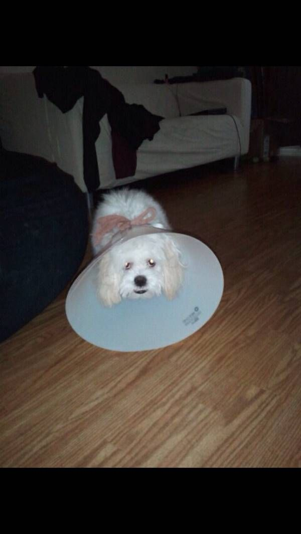 Lost Dog Maltese In Phoenix Az Lost My Doggie Losing A Dog