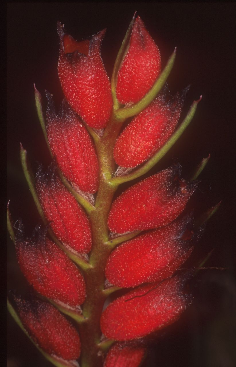 Photo-macrograph of floral-spike of Cryptochilus sanguineus