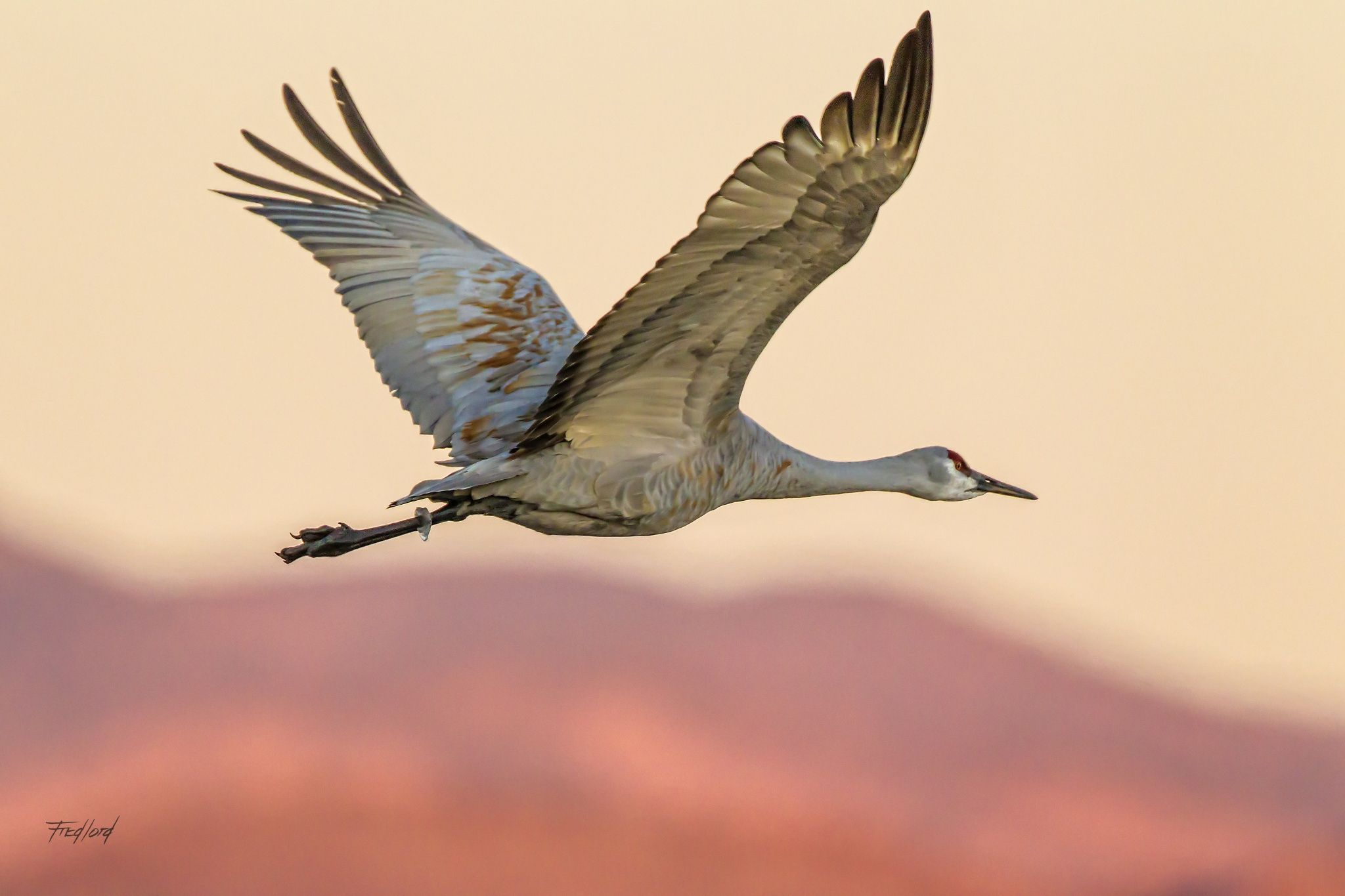 Sandhill Crane at Dawn - An adult Sandhill Crane flies out at dawn to feed in the surrounding farm fields.  Fred Lord Photography