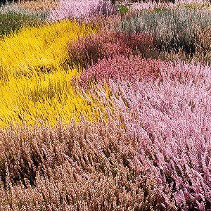 All About Growing Heathers And Heaths In The Garden Heather Gardens Garden Shrubs Shrubs